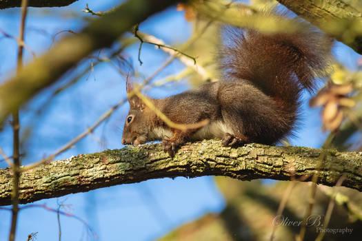 Eurasian Red Squirrel