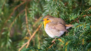 Fluffy Friday - Fluffed up Robin