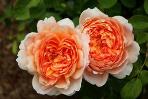 Peach Faced Twins