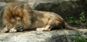 707 - lion