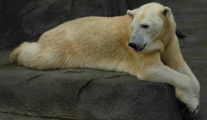 709 - polar bear