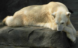 710 - polar bear