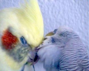Cockatiel N Budgie Love by dann1i