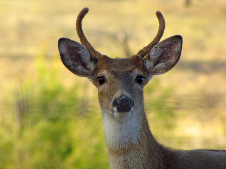 Whitetail buck by Glacierman54