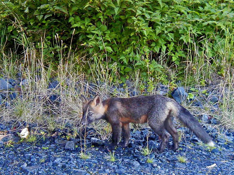 black phase red fox by Glacierman54