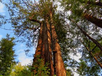 Giant red cedar by Glacierman54