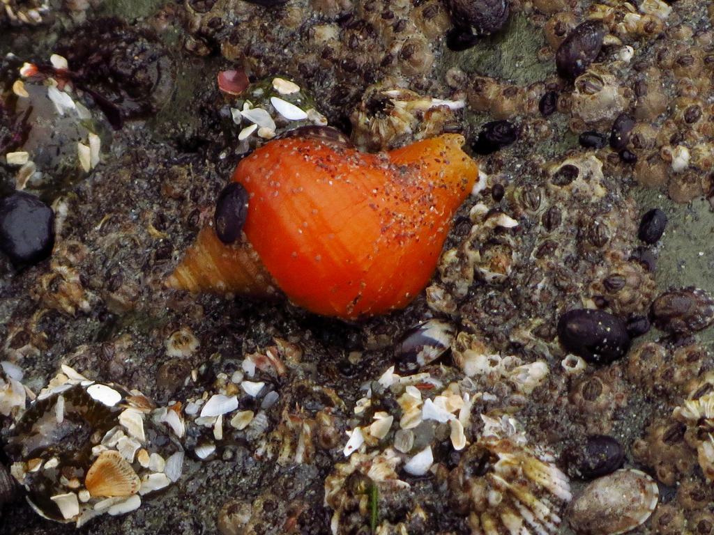 Nucella Lamellosa - A Small Predatory Sea Snail by Glacierman54