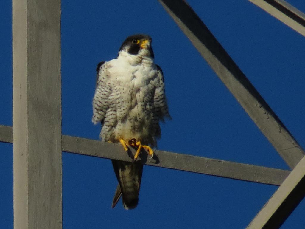 Peregrine Falcon by Glacierman54