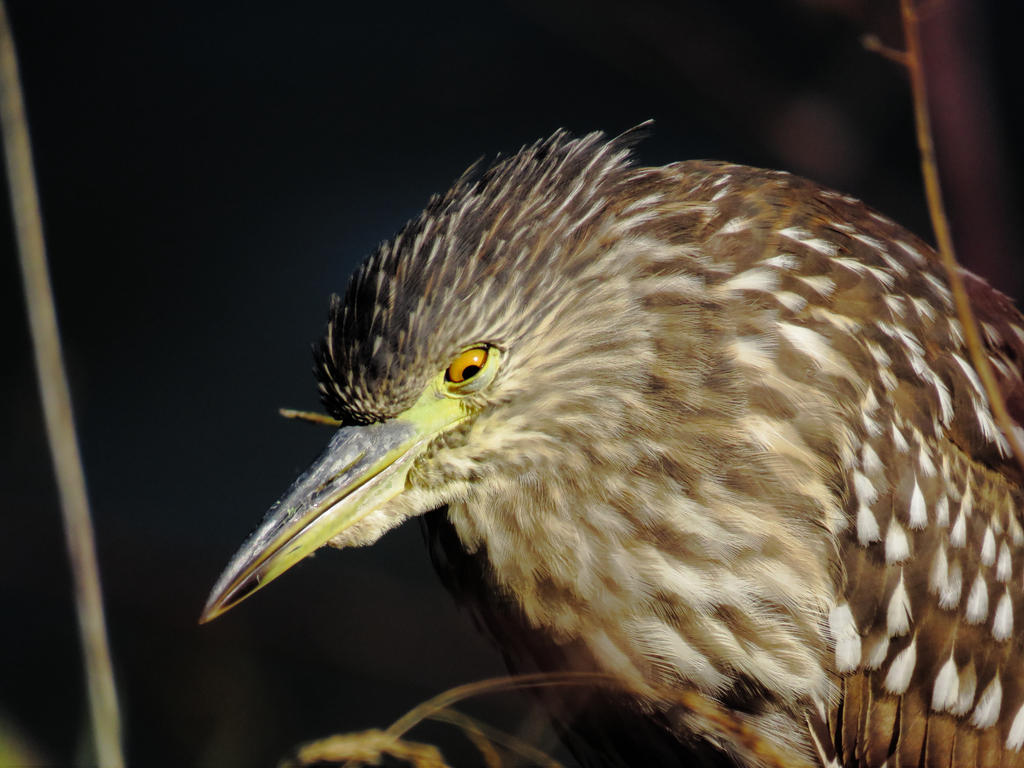 Juvenile Black Crowned Night Heron by Glacierman54