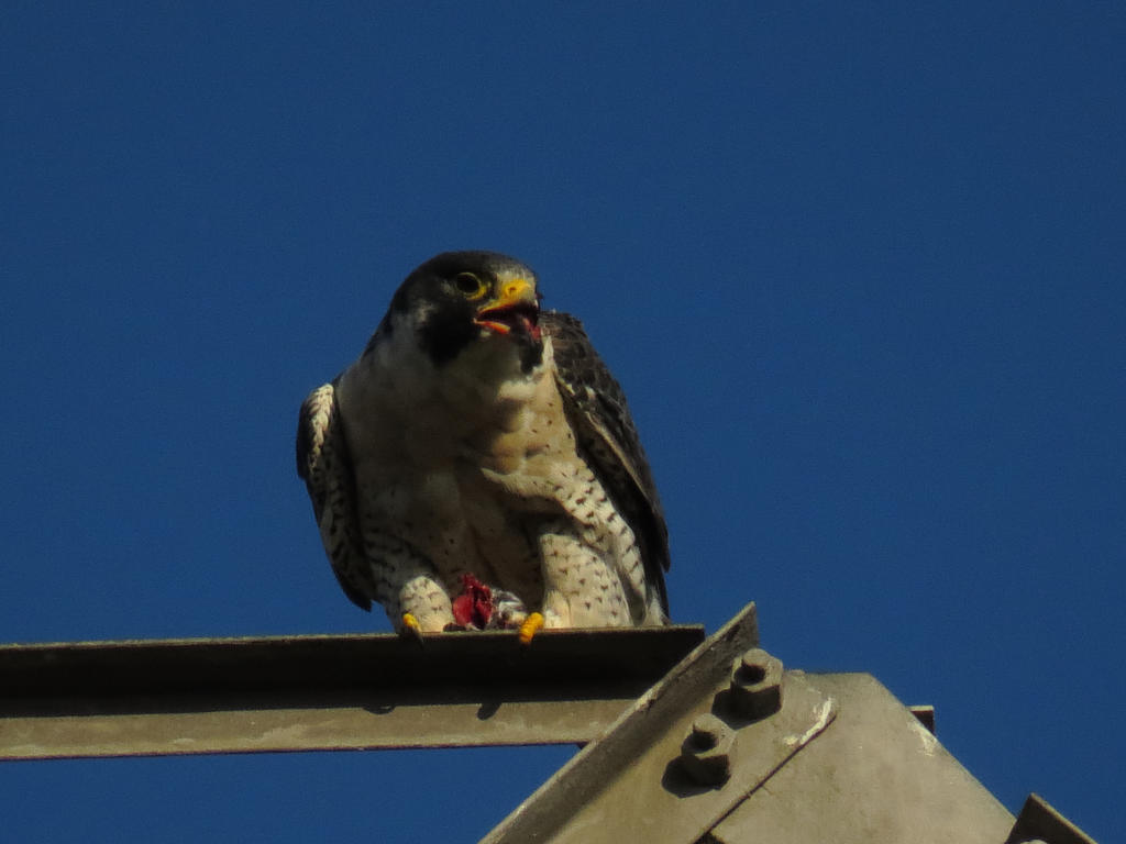 Feeding Peregrine Falcon by Glacierman54