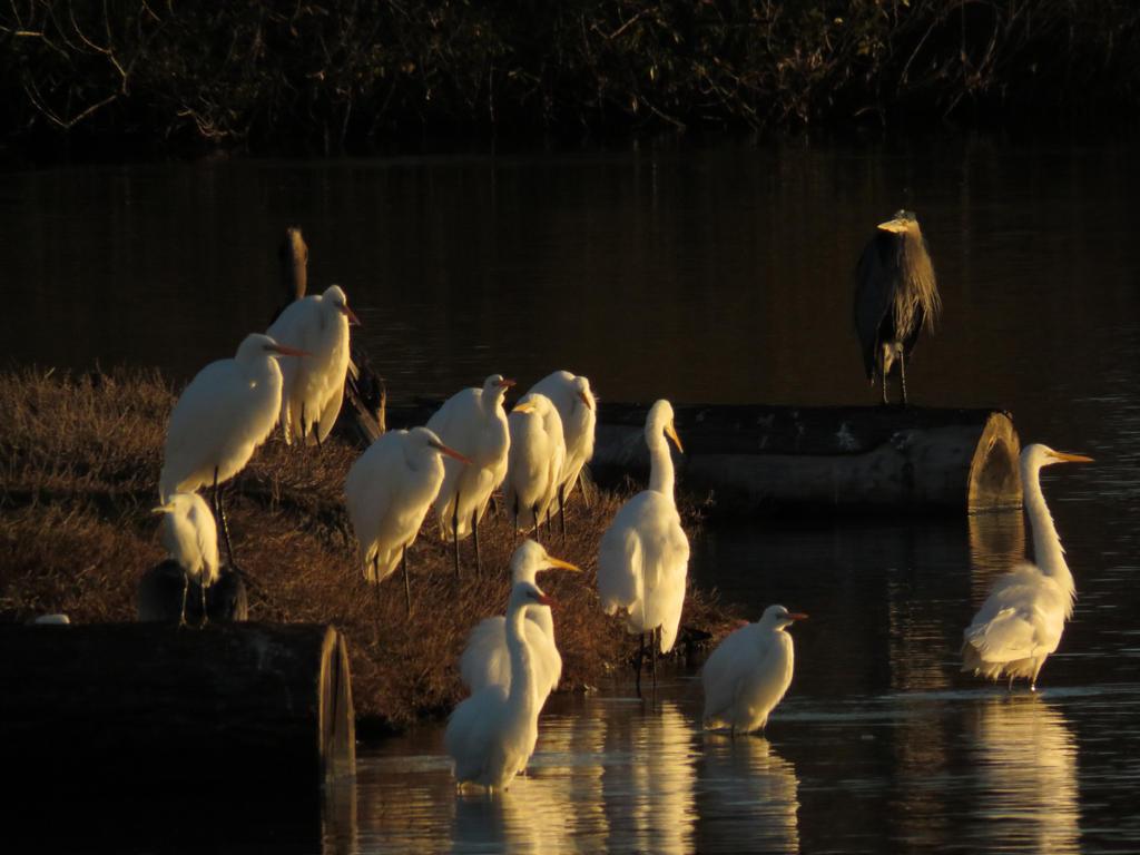 Egrets At Sunrise by Glacierman54