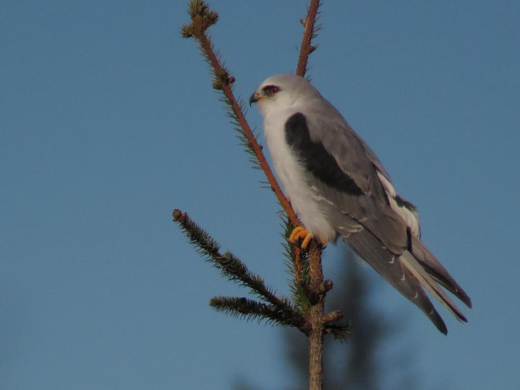 Kite On A Spruce by Glacierman54