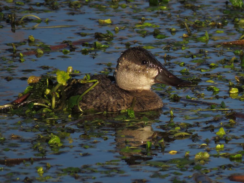 Ruddy Duck Hen In Natural Camo by Glacierman54