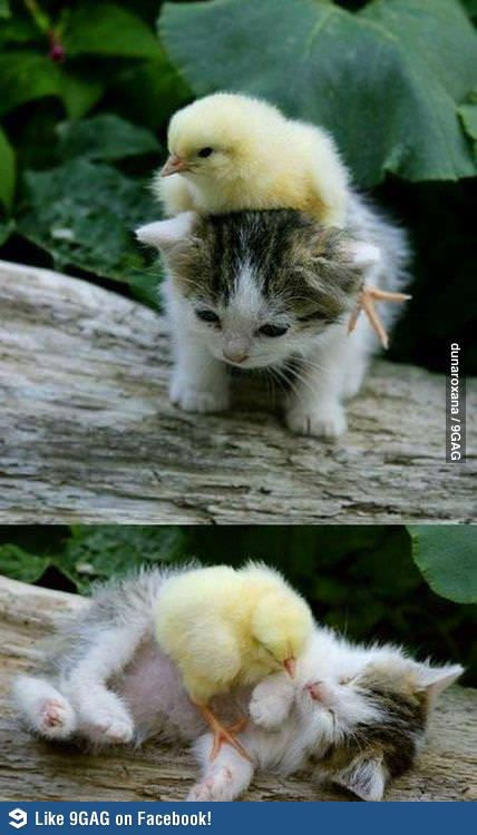 Little chick and kitty... by Joshdinobarney