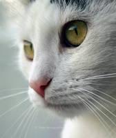 small, white cat by Tiroko