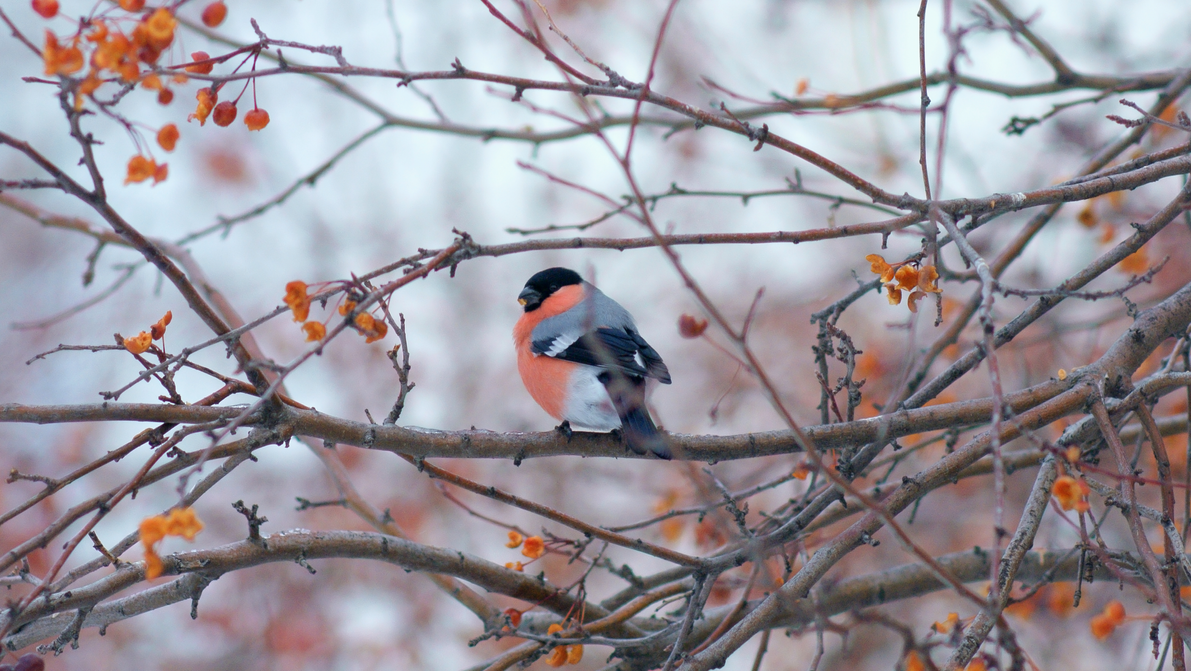 Eurasian bullfinch on wild apple tree by DTS3ds