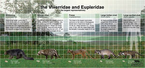the Viverridae and Eupleridae (fancat)