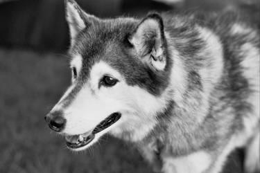 Husky by ExtremePilot4472