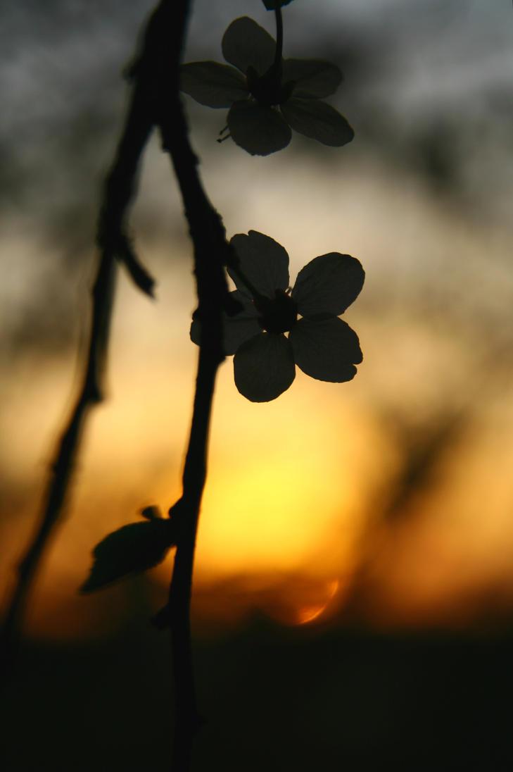 Spring Flowers -sunset 2015 by smileformealltime