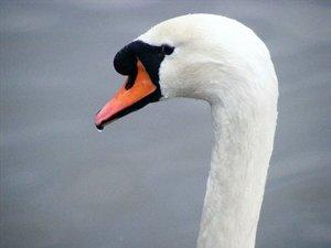 Swan by sarahangharad by WildlifePhotoClub