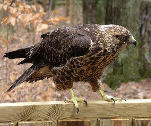 Hawk by finalrice by WildlifePhotoClub