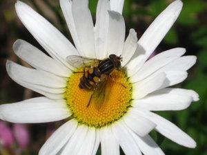 Yellow Hornet by sidneyj06 by WildlifePhotoClub