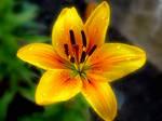 Golden Lilly 4