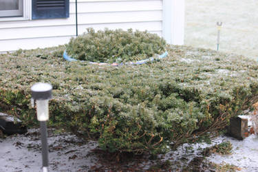 12-19 3640 Flying Saucer bush covered with ice