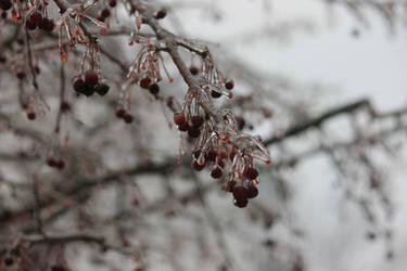 12-19 3651 Ice berries on the tree