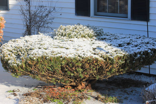 12-19 3658 Saucer ice bush with a snow dusting