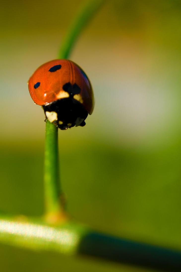 Ladybug by VectoriusTanne