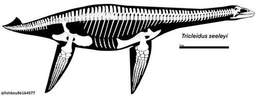 Tricleidus Skeletal