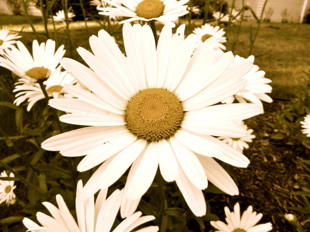 Vintage Daisy by Sidaris on DeviantArt