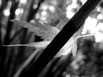 Japenese Maple Leaf