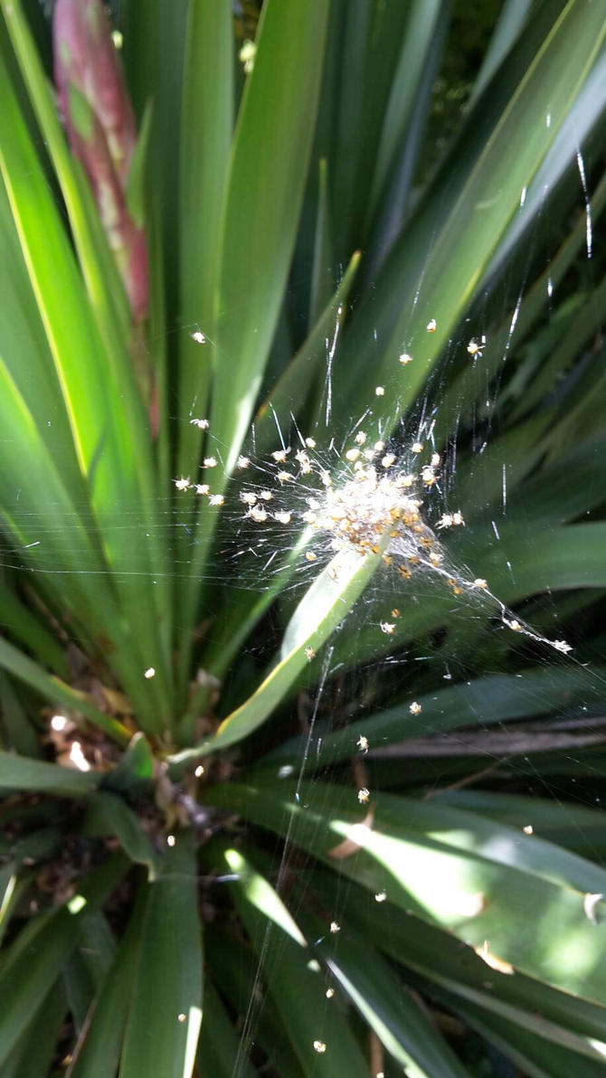 Baby Spiders  by ObsidianVixen