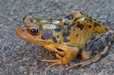 Frog Queen by Trueform