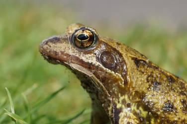Frog King by Trueform