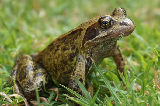 Frog King's Lands