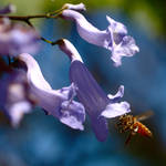 Bee approaches jacaranda