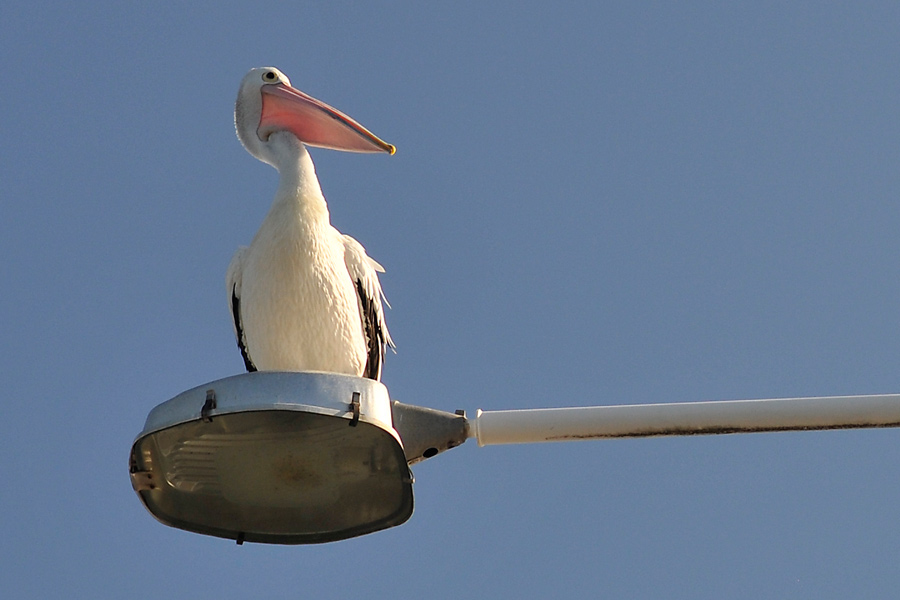 Pelican perched 1 by wildplaces