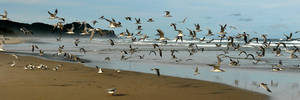 Gull panorama 3 by wildplaces