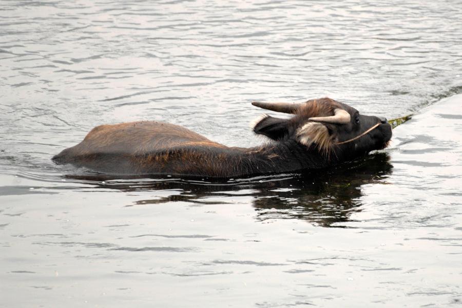 Water buffalo in Li River by wildplaces