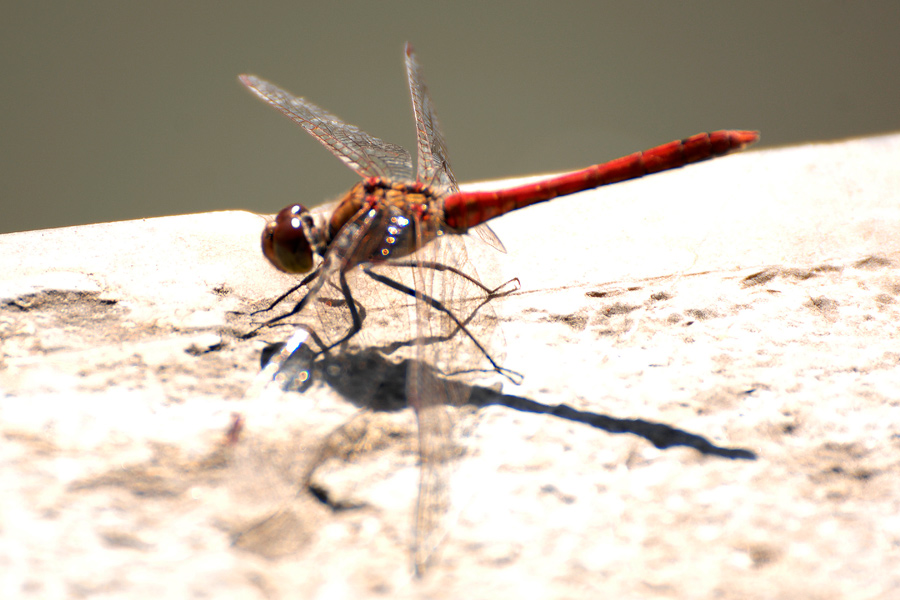Red dragonfly by wildplaces