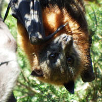 Flying fox face 1