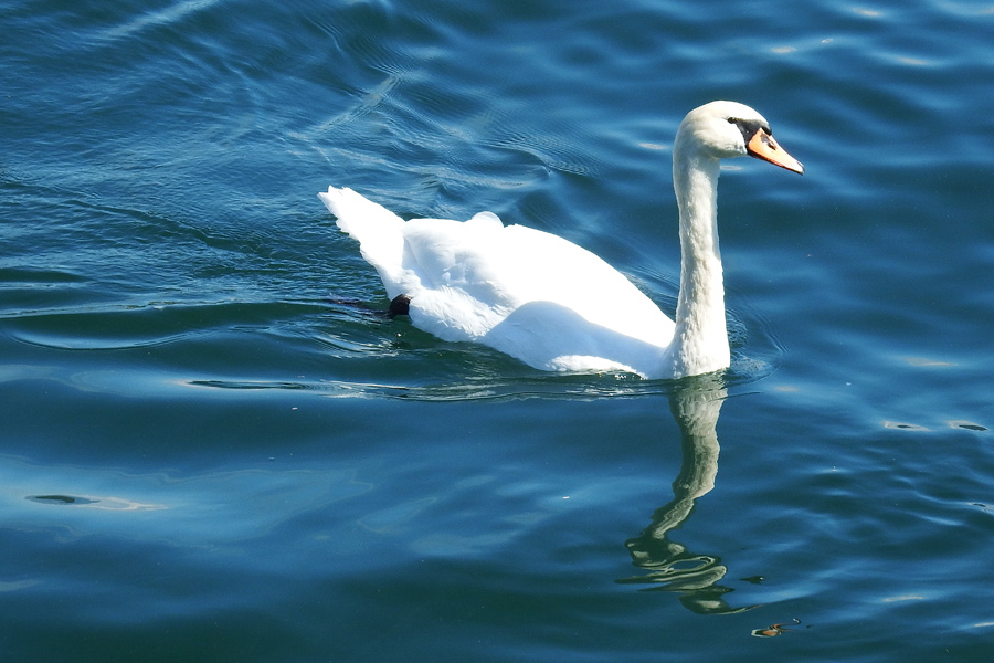 Lugano swan 1 by wildplaces