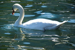 Lugano swan 2 by wildplaces
