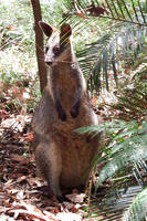 Wallaby 1 - Pearl Beach by wildplaces