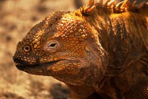 Galapagos land iguana 1 by wildplaces