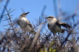Galapagos mockingbirds - Isabela Island by wildplaces