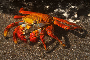 Sally Lightfoot crab 1 - Galapagos by wildplaces